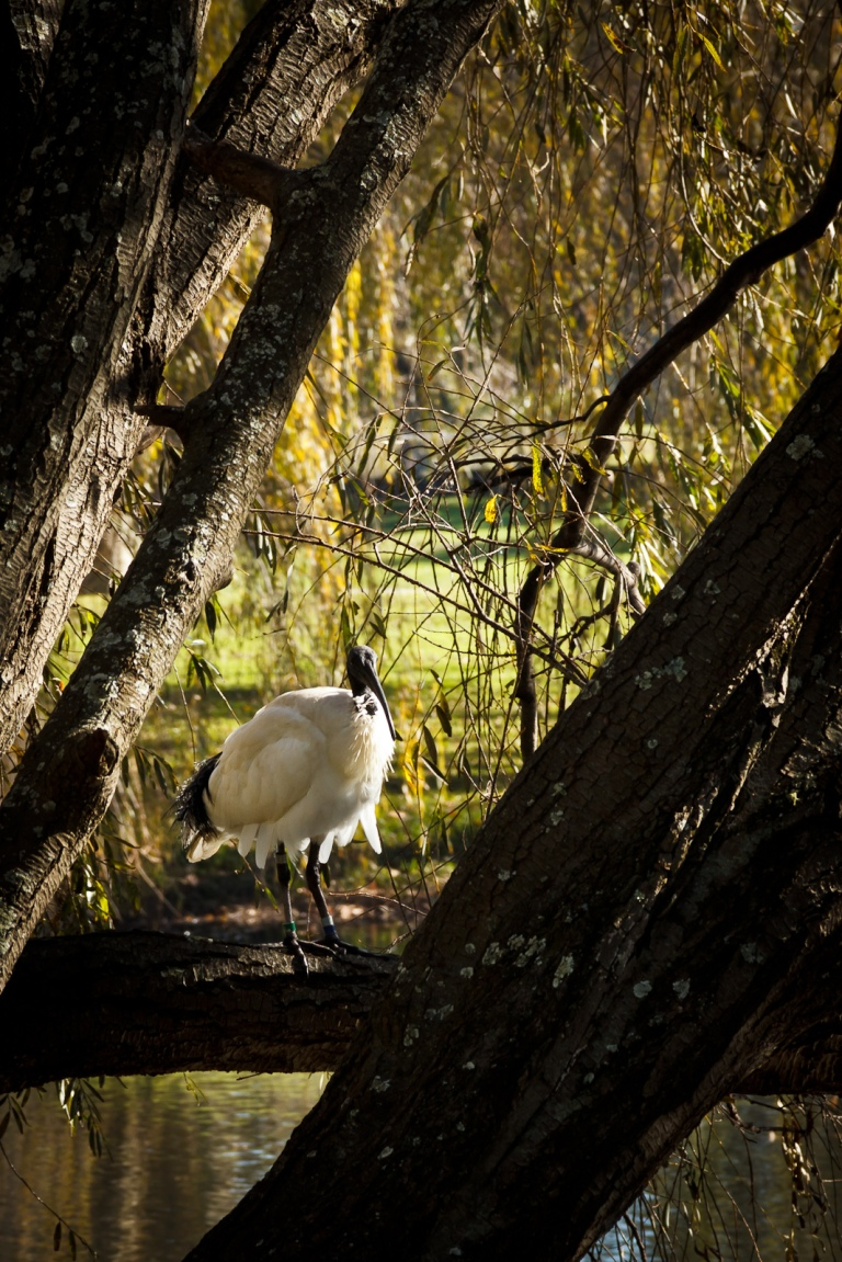 The Watchful Ibis