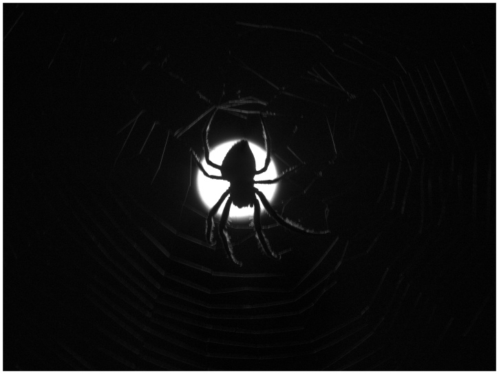Spider Moon in Black and White