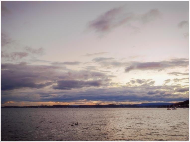 Black swans on the lake
