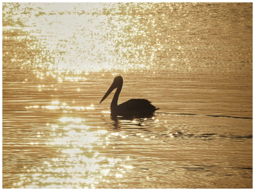 The Pelican and the Setting Sun