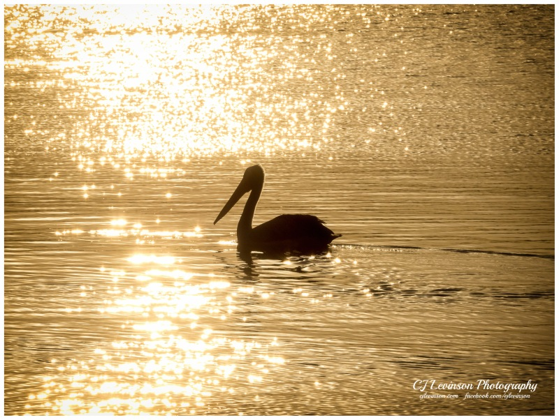 Pelican on the Lake