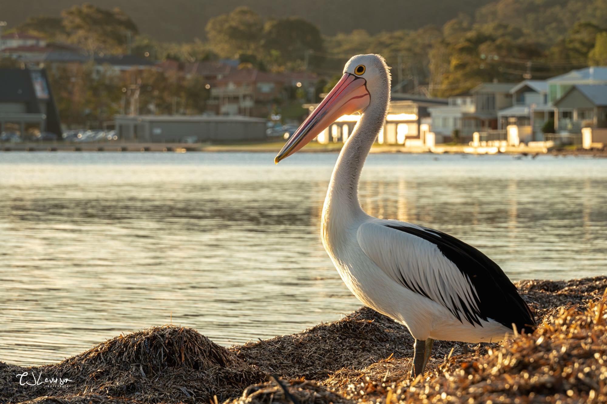 Mr Percival the Pelican